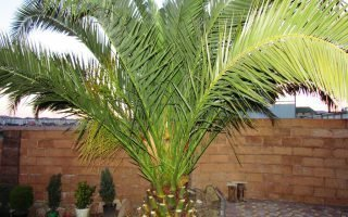 Финиковые пальмы и их плоды: совету по выращиванию