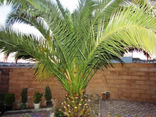 Финиковая пальма на террасе