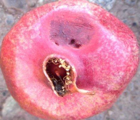 Гранатовая плодожорка