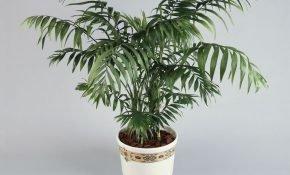 Характеристика пальмы Хамедорея Бамбуковая Элеганс