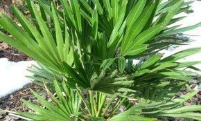 Как ухаживать за пальмой Хамеропс
