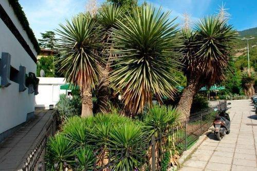 Юкки в природе в Мексике