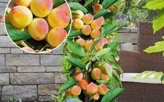 Описание колоновидного абрикоса