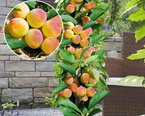 Колоновидный абрикос