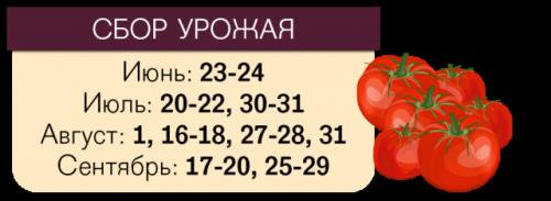 Даты сбора томатов