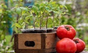 Лунный календарь для выращивания помидоров на 2019 год