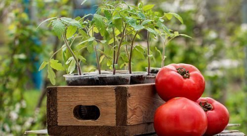 Лунный календарь 2018 для томатов