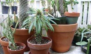 Мадагаскарская кактусовая пальма