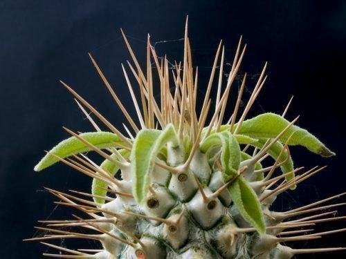 Пахиподиум растение