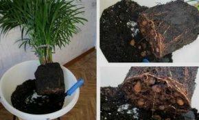 Как пересадить пальму: правила и особенности