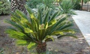 Оптимальные условия содержания саговой пальмы в домашних условиях