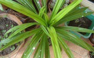Описание и особенности Винтовой пальмы