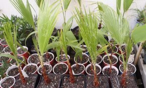 Способы размножения пальмы