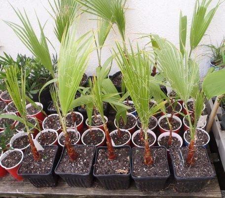 Выращивание пальм