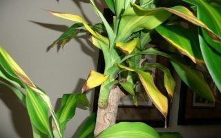Почему желтеют и сохнут листья на драцене