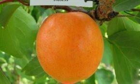 Особенности Киевского раннего сорта абрикоса