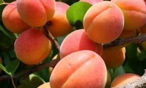 Абрикосы в Подмосковье: полезные советы по выращиванию