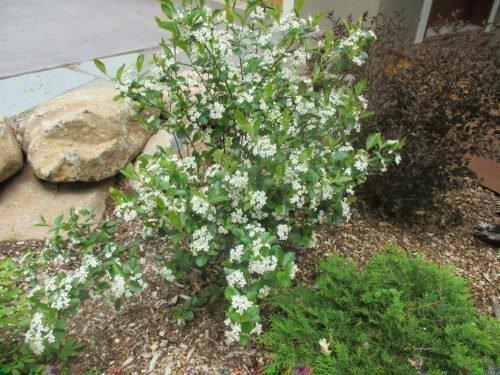 Черноплодная рябина - куст в цвету