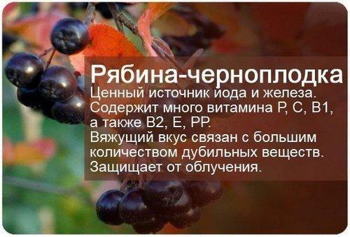 Черноплодная рябина - польза