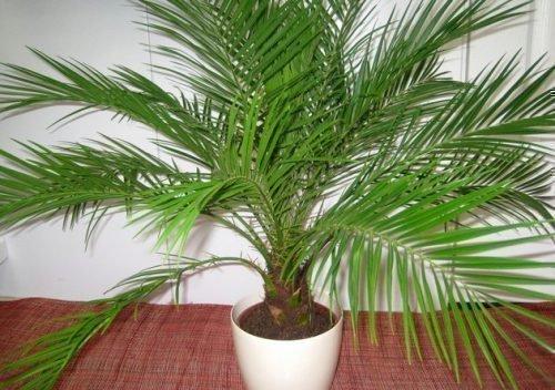 Канарская пальма