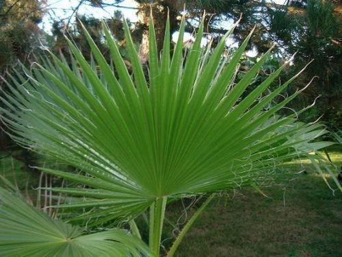 Лесная пальма