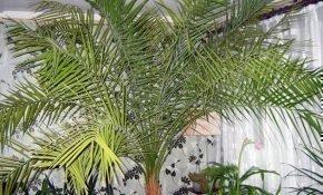 Выращиваем финиковую пальму дома