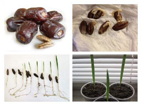 Выращивание из косточки