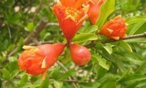Что делать при опадании цветов у граната