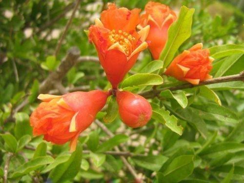 Цветки граната
