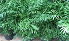 Особенности размножения Хамедории в домашних условиях