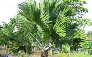 Выращивание веерной пальмы: основные особенности