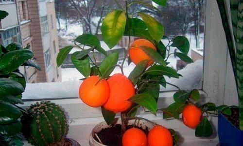 Комнатный мандарин