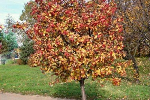 Рябина дуболистная осенью