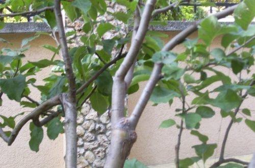 Привитое дерево