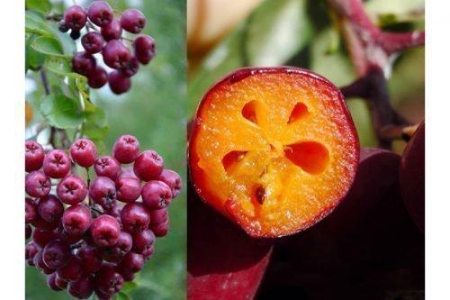Рябина Гранатная плоды