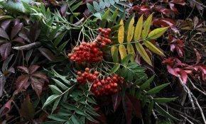 Секреты выращивания рябины сорта Додонг