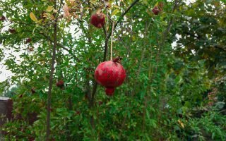 Время созревания плодов граната