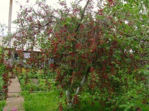 Куст вишни Щедрая