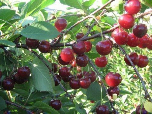 Сорт вишни Щедрая