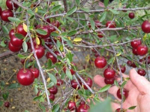 Размеры ягод