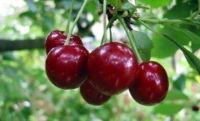 Преимущества вишни сорта Харитоновская