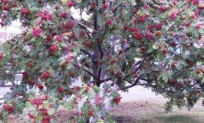 Разновидности рябины: кустарники и деревья