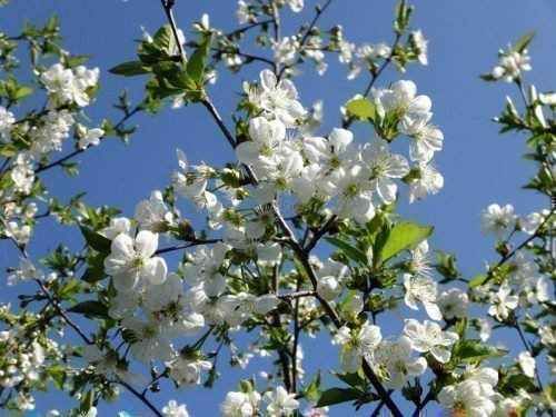 Чернокорка, цветение