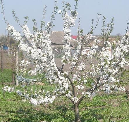 Чернокорка, дерево 6 лет