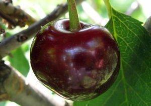 Чернокорка, плод