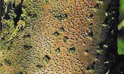 Цитоспороз (высыхание инфекционное)