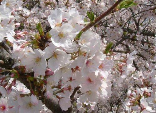 Цветки Мичуринской