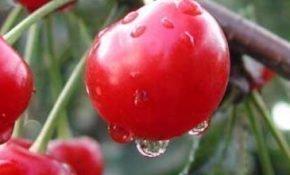 Важные характеристики ранних сортов вишни