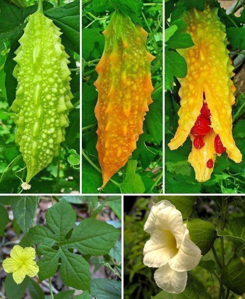 Плоды и цветки момордики