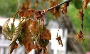 Как справиться с монилиозом на вишне